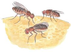 How toget rid of Fruit Flies