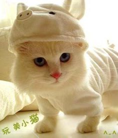 Cute Cat in Hat! Scottish Fold Munchkins are the Cutest Kittens Evar~