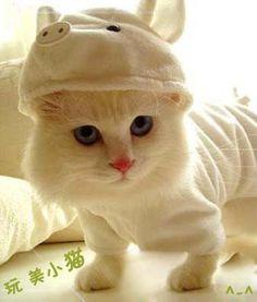 Cute Scottish Fold Munchkin Kitten