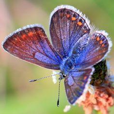 Hou je van vlinders? Ze kunnen ook in het hout als knop aan een uitvaartkist. Memriauitvaartzorg.nl