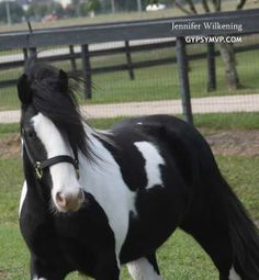 Gypsy Vanner Horses | Colt | Can't Touch This