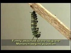 """""""The Life Cycle of the Monarch Butterfly""""  {This video is good quality, clear images and comprehensive enough for K-3 children.  The video uses captions instead of narration, so it would have to be read to emergent readers.}"""