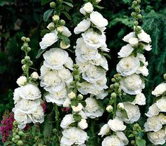 Alcea Chater's Double White NEW! Alcea Chater's Double White - White Flower Farm Quick Facts Common Name: Hollyhock Hardiness Zone: S / W Height: Exposure: Full Sun Blooms In: June-Aug Spacing: Amazing Gardens, Beautiful Gardens, Beautiful Flowers, White Flower Farm, White Flowers, White Perennial Flowers, Cut Flowers, Design Jardin, White Plants