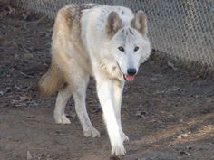 LUKE, Upper mid content wolfdog, born (estimated) 2005, joined Saint Francis Wolf Sanctuary in September 2007. Companion to Olowan.