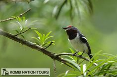 Brown throated wattle eye! For more information on Uganda's wildlife, please visit our website.
