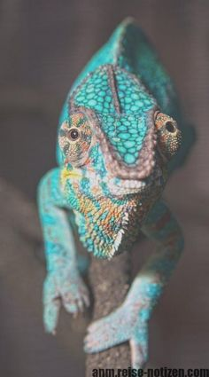 5 different types of chameleons - animals - 5 different types of chameleons - animals - . Bibi schlafmuetze bibischlafmuetz Putzig 5 different types of chameleons - animals - Reptiles Et Amphibiens, Cute Reptiles, Mammals, Beautiful Creatures, Animals Beautiful, Types Of Chameleons, Chameleon Pet, Karma Chameleon, Animals And Pets