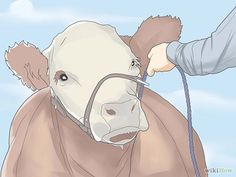 How to Show a Beef Steer: 15 Steps (with Pictures) - wikiHow