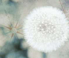 Dandelion ~ Make a Wish! Dandelion Clock, Dandelion Wish, White Dandelion, Yellow Flowers, Pretty Flowers, Peonies And Hydrangeas, Make A Wish, How To Make, Photography Backdrops