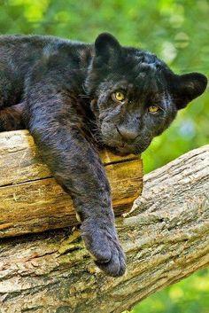 Young Black Jaguar