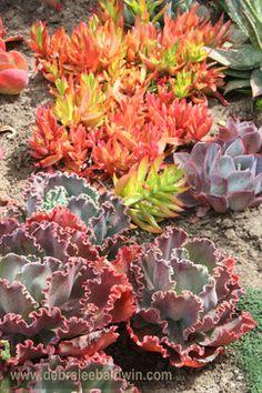 Drought Tolerant Plants Design Ideas, Pictures, Remodel, and Decor - page 69 Succulents Garden, Succulent Ideas, Cactus Plants, Water Plants, Drought Tolerant Landscape, Garden Landscaping, Landscaping Ideas, Plant Design, Dream Garden