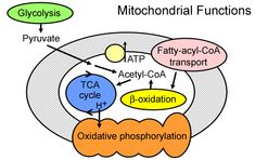 Mitochondrial Disorders: from terms to symptoms, tests and a comprehensive list of disorders