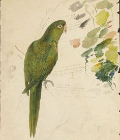 Green Parrot - Graphite And Watercolor Drawing Painting - Graphite And Watercolor Drawing by Green parrot World Famous Artists, Thing 1, Illustrations, Bird Illustration, Watercolor Drawing, All Art, Art Images, Art Drawings, Drawing Art