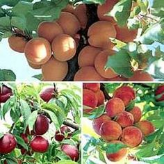 Pruning Peach Trees: Tutorial on Pruning Dwarf & Regular Peach Trees