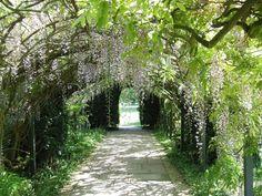wisteria branches | Wisteria Tunnel,Kitakyushu, Japan