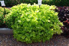 flora mia limon - Google Search Wheelbarrow Planter, Celery, Flora, Planters, Vegetables, Google Search, Plants, Vegetable Recipes, Plant