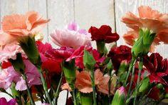 carnation flower - Pesquisa Google