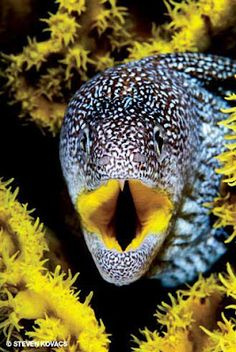 Yellow-mouthed Moray Eel