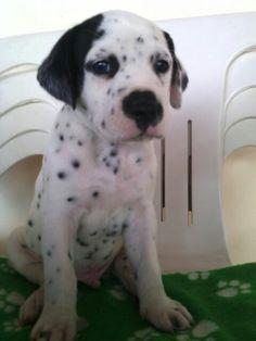Kuno Dalmatian puppy