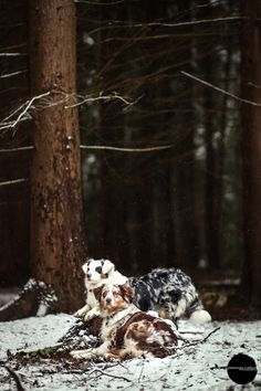 Photo shoot of Australian Shepherds in snow. Belgium