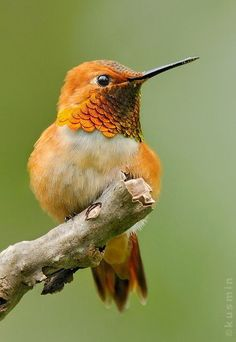 アカフトオハチドリ Rufous hummingbird (Selasphorus rufus)  or アレンハチドリ  Allen's Hummingbird (Selasphorus sasin)