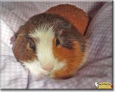 Read Coco Knibs's story the Guinea Pig from Wisconsin and see her photos at Pet of the Day http://PetoftheDay.com/archive/2014/April/07.html .
