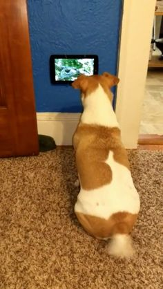 She got her own TV and that tail wag shows how happy she is