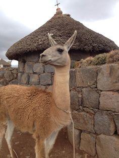 A llama mix poses for a photo.