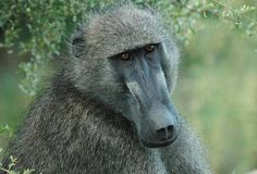 Baboon Storms Power Station Cuts Electricity Supply To 50000 People