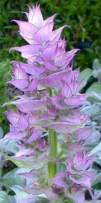 """Clary Sage - Salvia sclarea. To not use if drinking and driving. Euphoric, sedative, hypotensive, aphrodisiac, antisudorific, emmenagogue...Reputed to encourage vivid dreams or recall dreams. Battaglia:""""Clary sage personalities have the abiliy to probe deeply into the psyche of others. They appear pensive at times, are gentle, melancholic and thoughtful."""" In Traditional Chinese Medecine, it is reputed to strengthen Qi. A tonic and antispasmodic oil."""