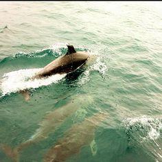 Dolphins. After diving. Arvoredo Island. Brazil.