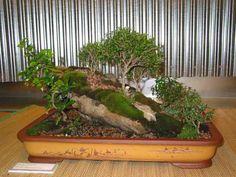 http://photo.bonsai.free.fr/images/1421.jpg