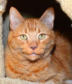 Orange Tabby Alert!  Ducky is one of a dozen orange kitties currently available for adoption here at HSSV!
