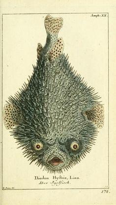 """Bd 4 plates (1783) - Gemeinnüzzige Naturgeschichte des Thierreichs : - Biodiversity Heritage Library """"porcupine fish"""""""