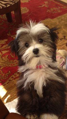 Please pick me up. Havenese puppy