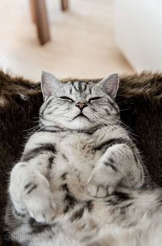 American Shorthair Cat Breeds - Cats In Care Cute Cats And Kittens, I Love Cats, Kittens Cutest, Ragdoll Kittens, Tabby Cats, Bengal Cats, Kitty Cats, Beautiful Cats, Animals Beautiful