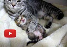 Sweet Cat Mama Cuddling Baby Kitten to Sleep