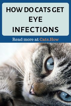 Cats like all living beings on this little planet of ours are predisposed to getting infections at some point in their lives Some of the most common are eye infections an. Kitten Eye Infection, Eye Infections, Kitten Eyes, Cat Health, Health Tips, Little Planet, Watery Eyes, Healthy Eyes, Cat Care Tips