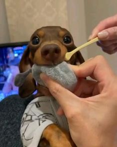 Funny Dog Videos, Funny Animal Memes, Cute Funny Dogs, Cute Funny Animals, Cute Animal Videos, Cute Animal Pictures, Animal Help, Dachshund Love, Cute Dogs And Puppies