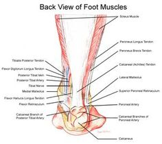 8 simple moves to strengthen your back muscles anatomy and detail diagram of tendons in foot anatomy organ ccuart Gallery