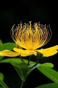 St John's wort (Hypericum) ~ little known secret. easy to grow in part-shade, zone 7 ~ one of my fave plants due to these bright, beautiful flowers. Unusual Flowers, Rare Flowers, Amazing Flowers, Yellow Flowers, Beautiful Flowers, Spring Flowers, Arte Floral, Flower Pictures, My Flower
