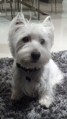 The West Highland White Terrier, also as other Scottish terriers, share related roots along with the former can be a very great hunter of fox, vermin, and badger. * Want to know more about pet dogs, click on the image.