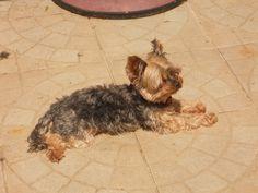 Princesse Anouchka #chien #dog #yorkshire #chambredhote #bandb #cute #mignon #tarn #castelnaudemontmiral #gaillac http://lamaisonduchai.com/accueil.html