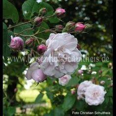 Champney's Pink Cluster - Rosa - Noisetterosen - Historische_Rosen - Rosen - Rosen von Schultheis