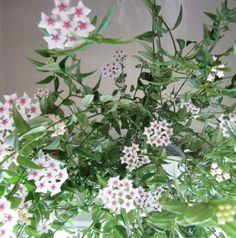 hoya kerrii 39 variegata 39 sweetheart hoya fleurs de cire cire et cactus. Black Bedroom Furniture Sets. Home Design Ideas