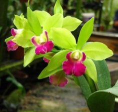 cattleya orchid JMR