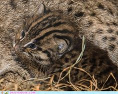 cute animals - Newborn Fishing Cats. Its so important to learn how to breed endangered species in captivity. Good job National Zoo!