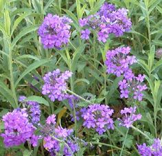 """Verbena canadensis- """"homestead purple""""  is a drought tolerant flowering plant.  Perhaps in front yard?"""