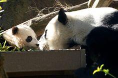Mother and child Giant Pandas touching noses. A sweet moment between Xiao Liwu & Bai Yun at the San Diego Zoo. Photo by Rita Petita.
