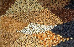 Vienen en todos tamaños diferentes formas y colores. La semilla en sí es una planta embrionaria y el origen de la nutrición.Una planta no escatima esfuerzos para producir cada semilla y llenarla... Lee más sobre: Alimentación y Permacultura en La bioguía.