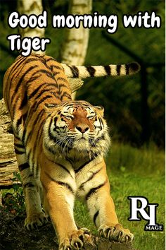 Good morning with tiger Wildlife Photography, Animal Photography, Photography Photos, Photography Reflector, Photography Backdrops, White Photography, Big Cats, Cute Cats, Good Morning Nature Images